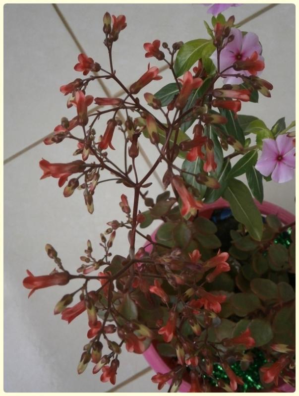 Name:  Kalanchoe manginii 'Mirabella' 04.jpg Views: 911 Size:  62.4 KB