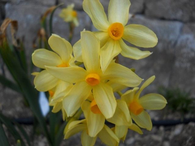 Name:  DSCN7792 çok çiçekli sarı karaburun.jpg Views: 1040 Size:  67.0 KB