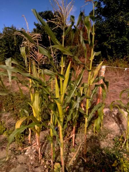 Name:  19 Laz mısırı.jpg Views: 122 Size:  65.5 KB