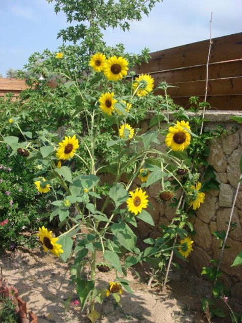 Name:  sunflower.jpg Views: 319 Size:  71.9 KB