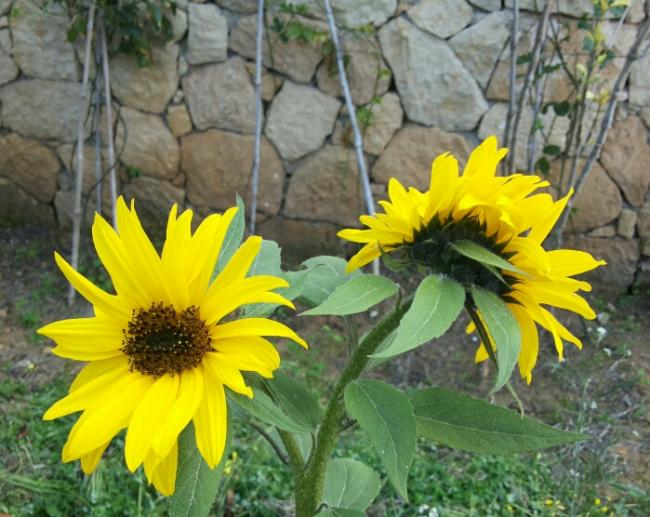 Name:  March 2014 Sunflower.jpg Views: 256 Size:  59.0 KB