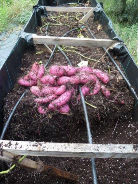 Name:  tatlı patatesler_450.jpg Views: 1218 Size:  64.9 KB