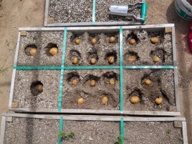 Name:  DSCN0579 patates 4 mayıs 2014.jpg Views: 604 Size:  64.3 KB