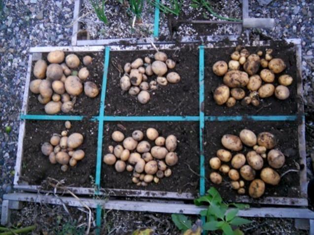 Name:  DSCN3507 22 ekim 2014 patates hasadı.jpg Views: 663 Size:  66.4 KB