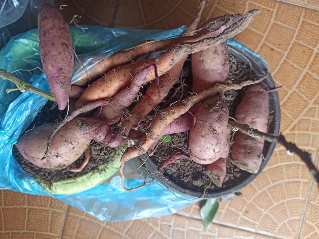Name:  Tatlı patates yumrular.jpg Views: 159 Size:  62.6 KB