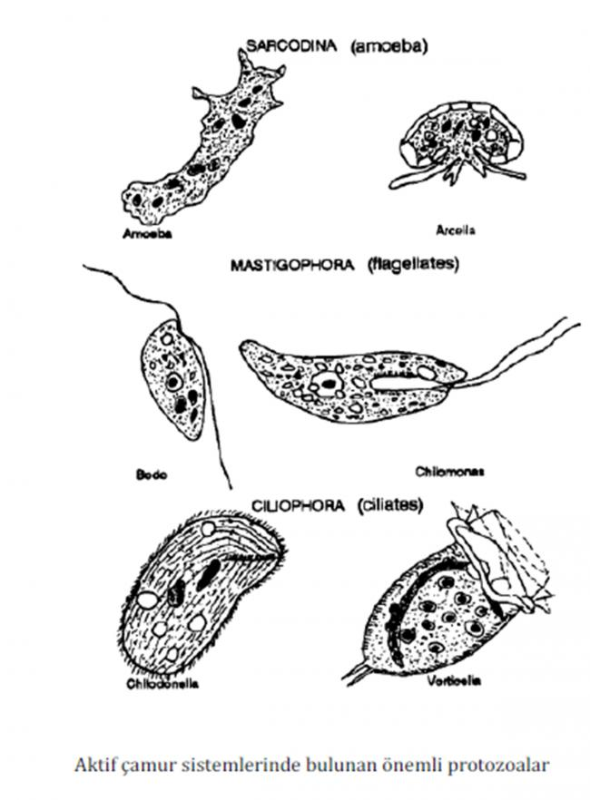 Name:  protozoalar.jpg