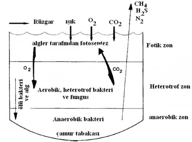 Name:  fak�ltatif_havuzlarin_mikrobiyolojisi.jpg Views: 9574 Size:  31.6 KB