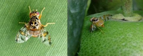 Name:  ceratitis_capitata.jpg