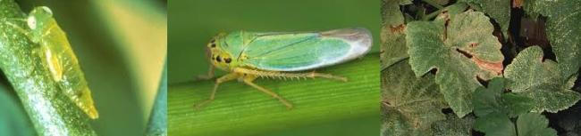 Name:  leafhopper.jpg