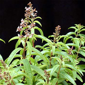 Name:  Aloysia-triphylla1.jpg
