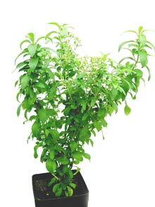 Name:  stevia%20014_web.jpg
