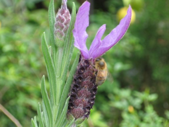 Name:  Lavandula stoecbas avonview 001.jpg