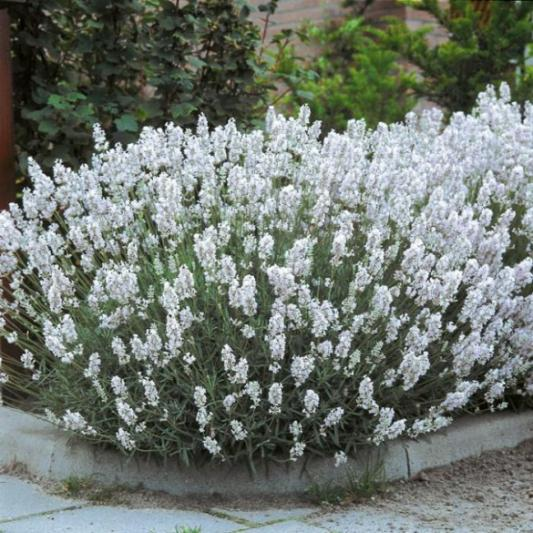 Name:  lavandula-edelweiss-585x585[1].jpg