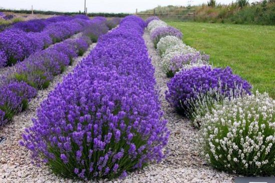 Name:  color-of-lavender[2].jpg