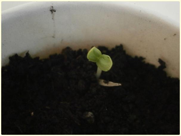Name:  Zinnia Pepperment Stick  SDurul.jpg Views: 1031 Size:  19.9 KB