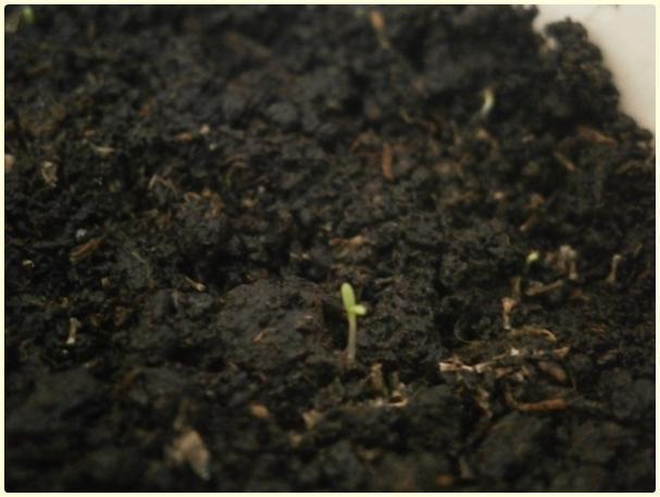 Name:  Beyaz Civan Perçemi (Achillea millefolium).jpg Views: 1107 Size:  33.7 KB