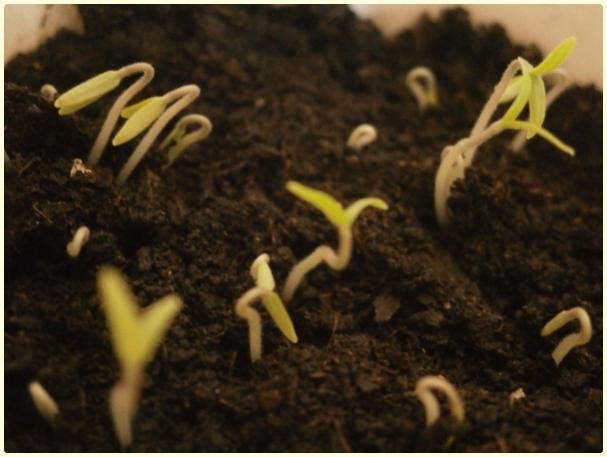 Name:  Mikrop Domates (Spoon Tomato) - Lycopersicon pimpinellifoliu.jpg Views: 990 Size:  35.3 KB