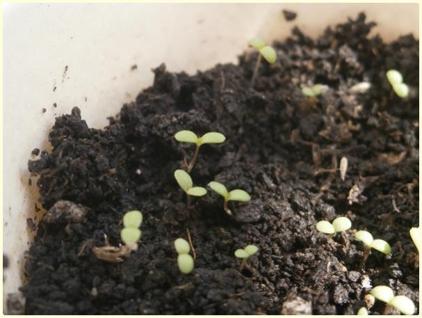 Name:  Beyaz Civan Perçemi (Achillea millefolium)2.jpg Views: 924 Size:  41.5 KB