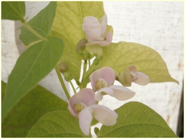 Name:  Karışık Fasulye (Phaseolus vulgaris).jpg Views: 409 Size:  27.4 KB