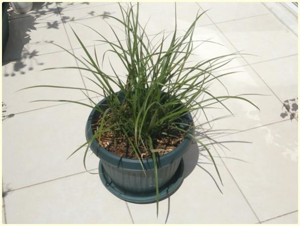 Name:  Yer Bademi 'chufa' (Cyperus esculentus).jpg Views: 302 Size:  37.0 KB