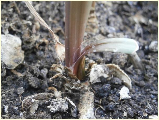 Name:  Zephyranthes sp. - Pembe Zıpçıktı.jpg Views: 495 Size:  51.4 KB