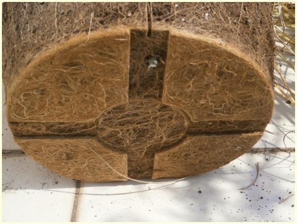 Name:  Yer Bademi 'chufa' (Cyperus esculentus) - kökler.jpg Views: 560 Size:  49.1 KB
