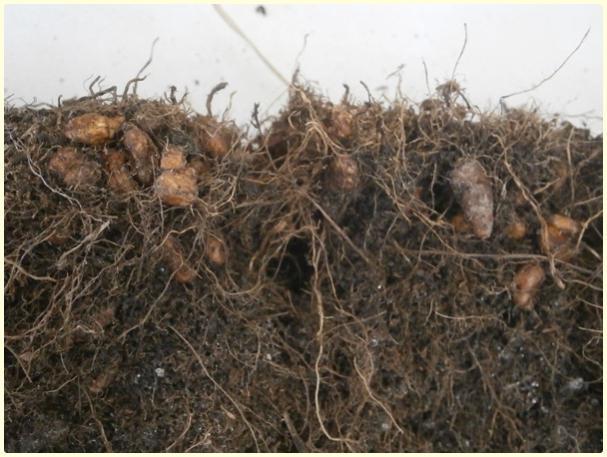 Name:  Yer Bademi 'chufa' (Cyperus esculentus) - ürün (2).jpg Views: 743 Size:  49.4 KB