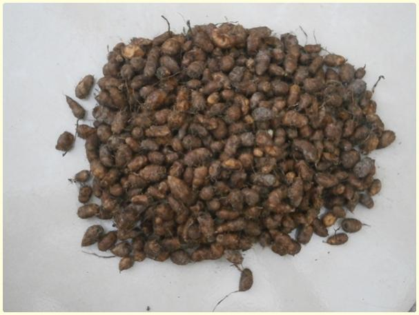 Name:  Yer Bademi 'chufa' (Cyperus esculentus) - ürün (3).jpg Views: 613 Size:  35.9 KB