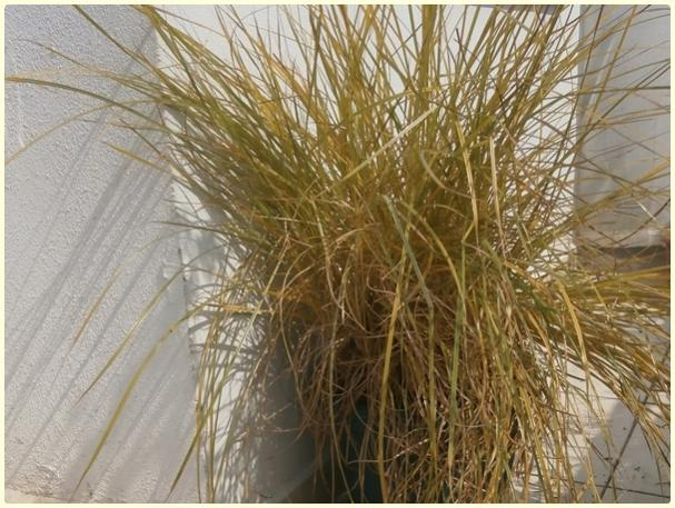 Name:  Yer Bademi 'chufa' (Cyperus esculentus) - hasat zamanı.jpg Views: 582 Size:  62.5 KB