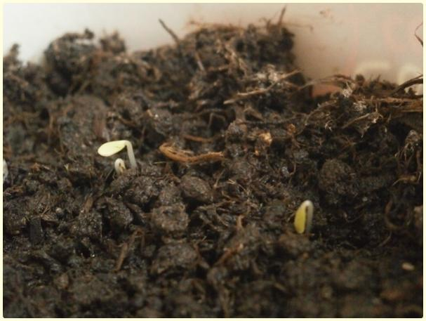 Name:  Hüsnüyusuf Çiçeği (Dianthus barbatus).jpg Views: 169 Size:  40.2 KB