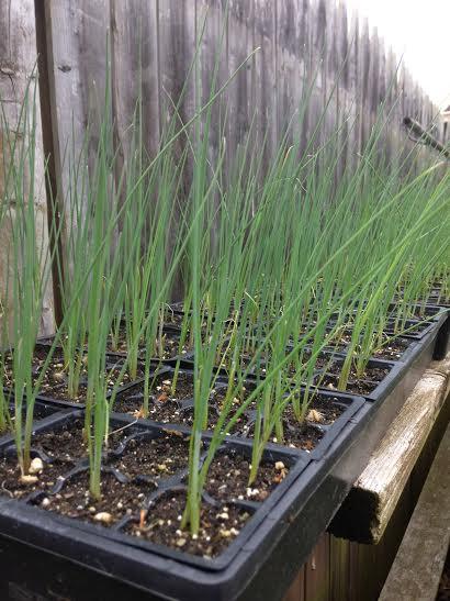 Name:  hardening-off-seedlings-gh-ii.jpg Views: 350 Size:  42.8 KB