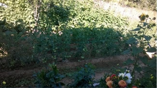 Name:  domates patlıcan 11.08.2017.jpg Views: 122 Size:  59.5 KB