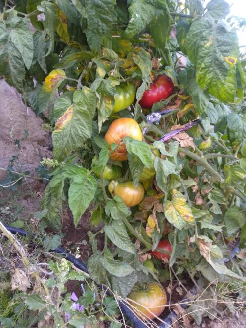 Name:  patetes yapraklı rus domatesi 1.jpg Views: 604 Size:  76.9 KB