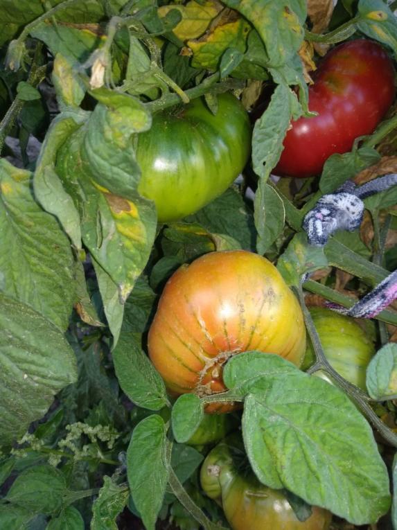 Name:  patetes yapraklı rus domatesi 2.jpg Views: 592 Size:  73.2 KB