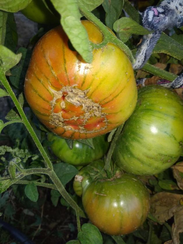 Name:  patetes yapraklı rus domatesi.jpg Views: 221 Size:  71.2 KB