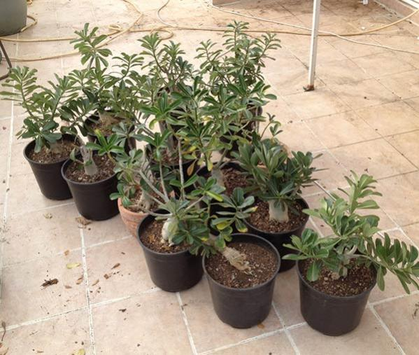 Name:  adenium1.jpg