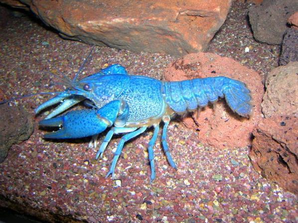 Name:  Procambarus-Alleni.jpg Views: 2618 Size:  71.2 KB