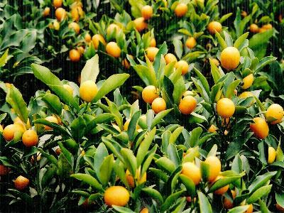 Name:  kumquat13.jpg