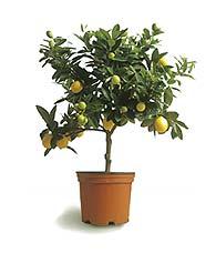 Name:  limonella_tree.jpg Views: 6904 Size:  7.6 KB
