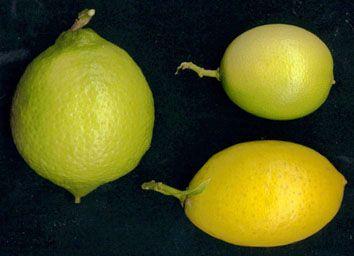 Name:  Limes.JPG Views: 5349 Size:  15.2 KB