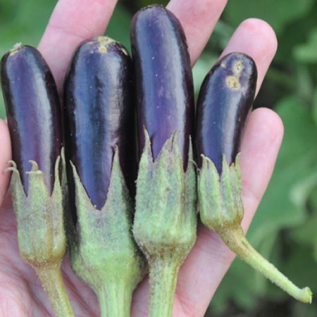 Name:  little-finger-eggplant-lg.jpg