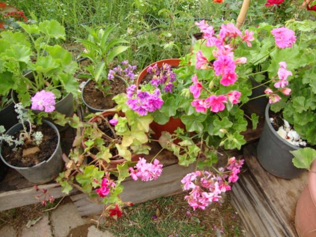 Name:  bahçemiz mayıs 2010 014.jpg Views: 1654 Size:  70.4 KB