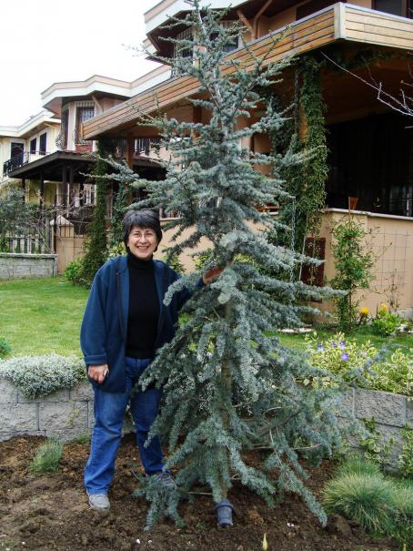 Ilhan bahçem seçilen ağacımız cedrus atlantica glauca mavi atlas