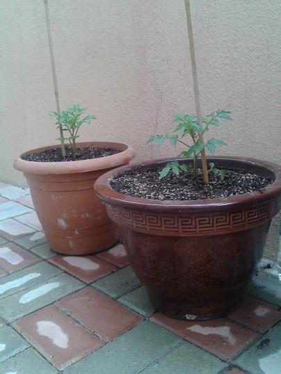 Name:  domates fideleri.jpg Views: 3137 Size:  69.5 KB