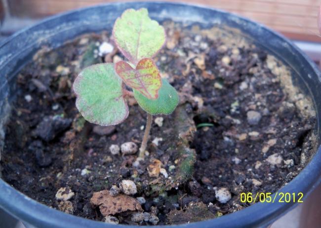 Plumeria evde. Plumeria: tohumlardan büyüyor