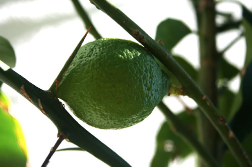 Name:  LIMON.jpg
