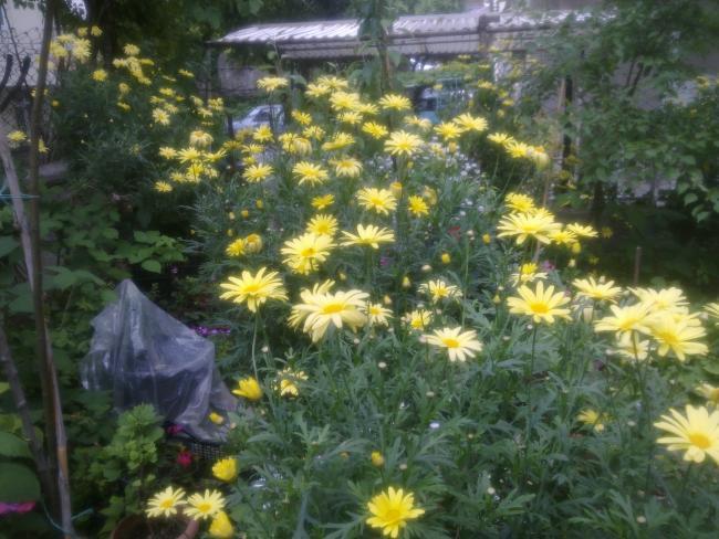 Name:  sarı papatya.jpg Views: 2186 Size:  59.5 KB