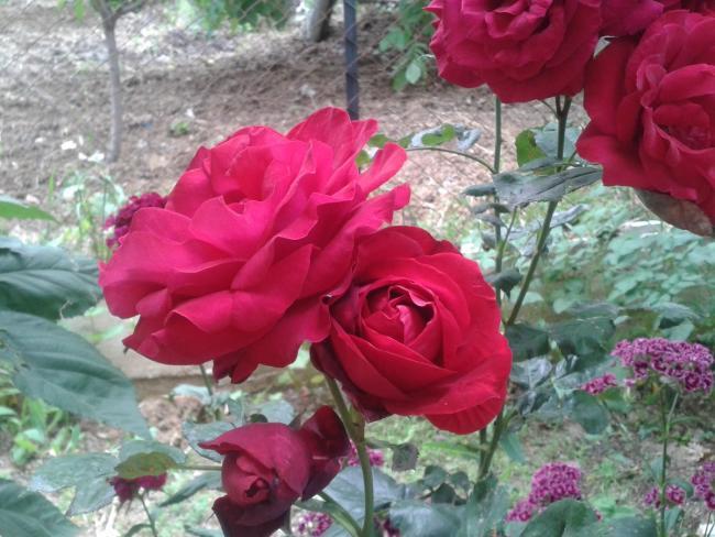 Name:  kırmızı gül (Kopyala).jpg Views: 2354 Size:  55.9 KB