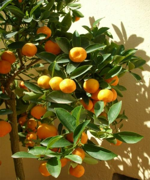 Name:  Calamondin (500 x 600).jpg