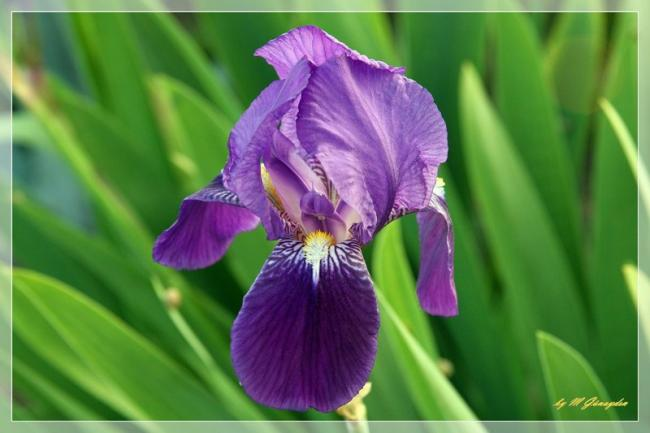 Name:  1-iris.jpg